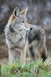 Coyotes in Oakville