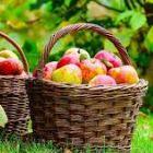 basket apples